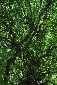 TextureX Hybrid Tree Branch Green Leaf Ent Texture