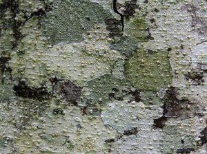Wood Texture Red Alder bark camo green stock image