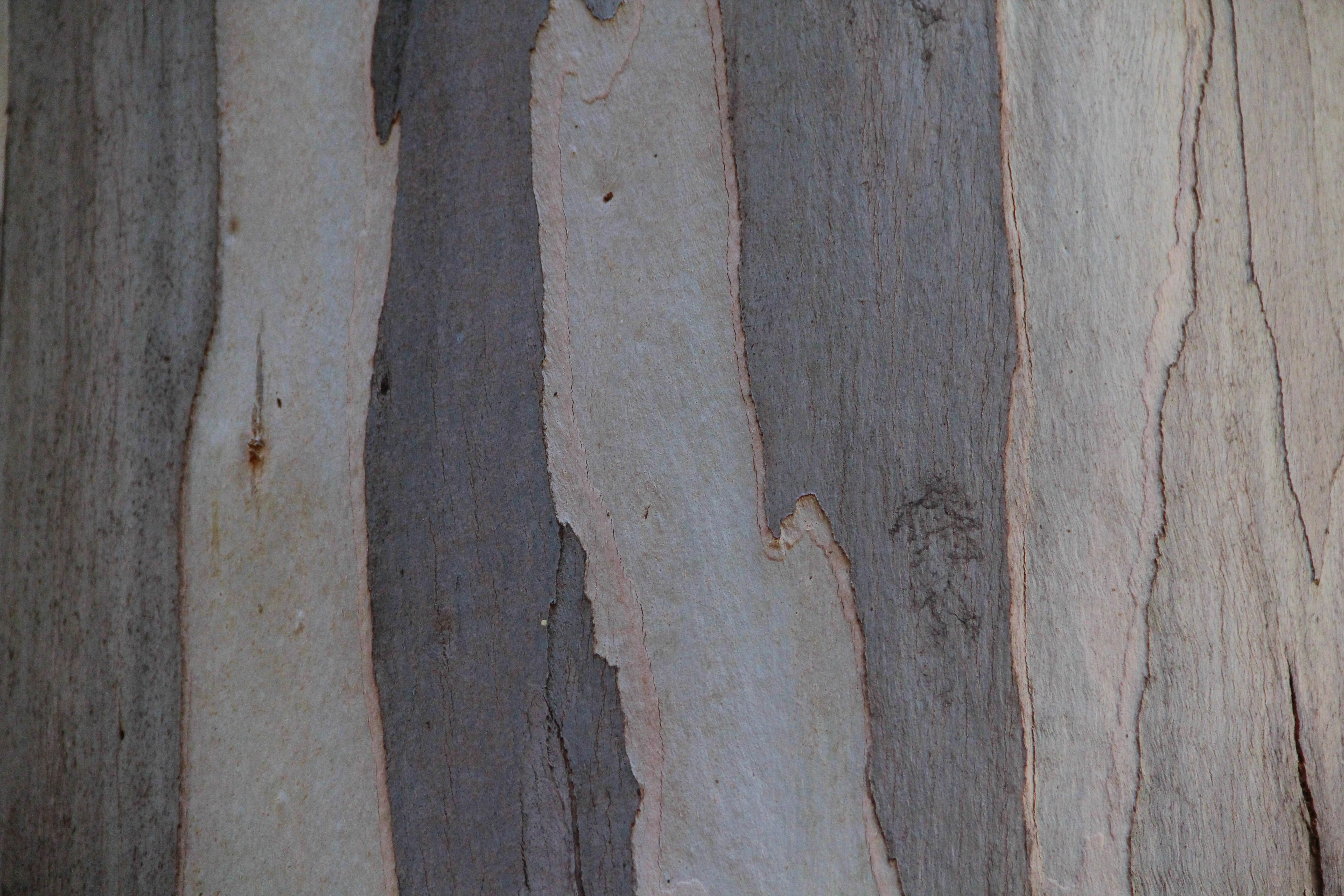 Eucalyptus Wood Texture Bark Paper Wooden Grey Stoc